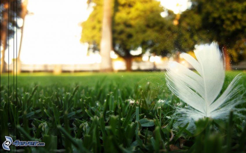 fjäder, gräs