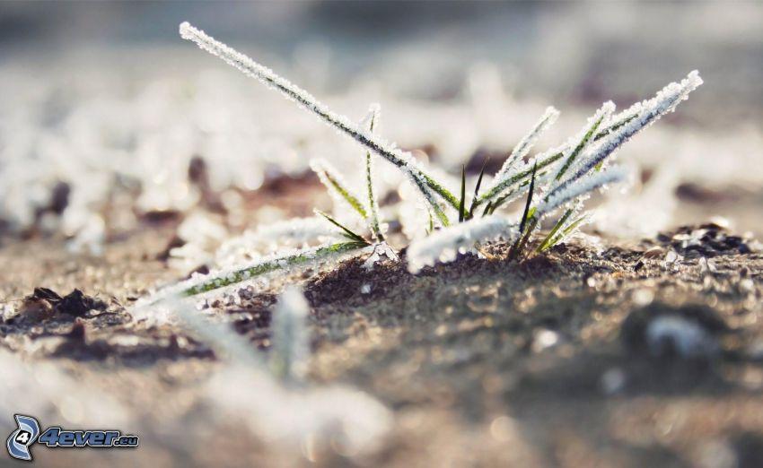 fruset gräs