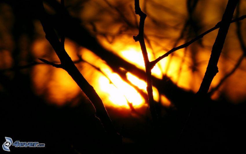grenar, solnedgång bakom träd