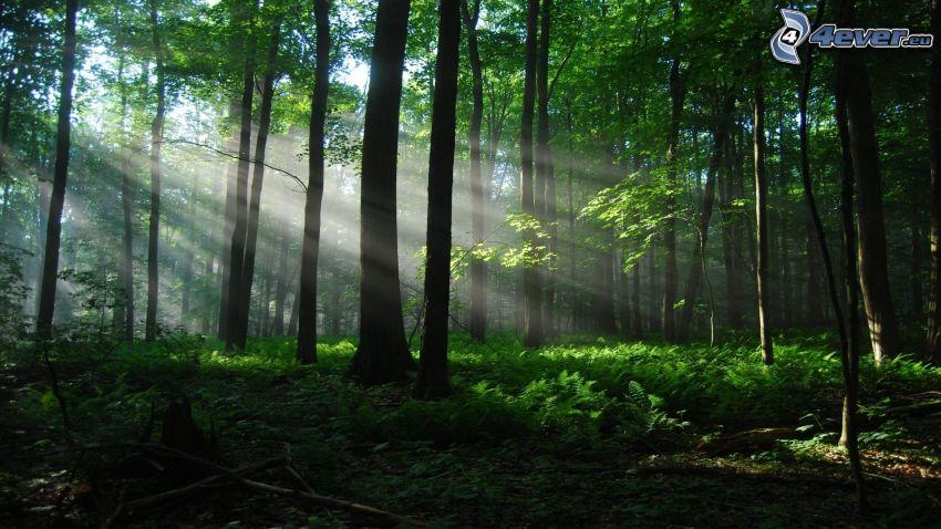 grön skog, solstrålar, grönska