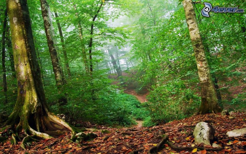 grön skog, stig genom skog