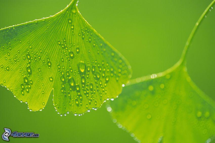 gröna blad, dagg, droppar