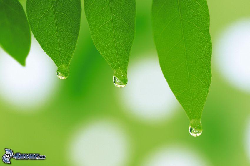 gröna blad, vattendroppar