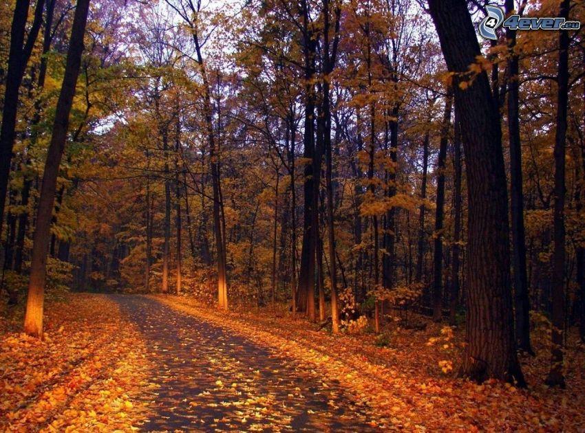 gul höstskog, skogsväg