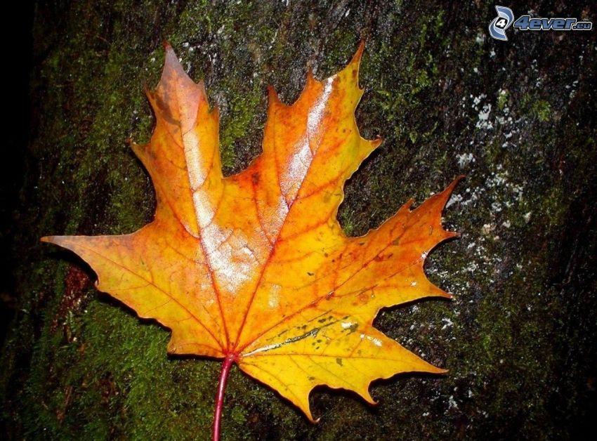 gult löv, bark, mossa