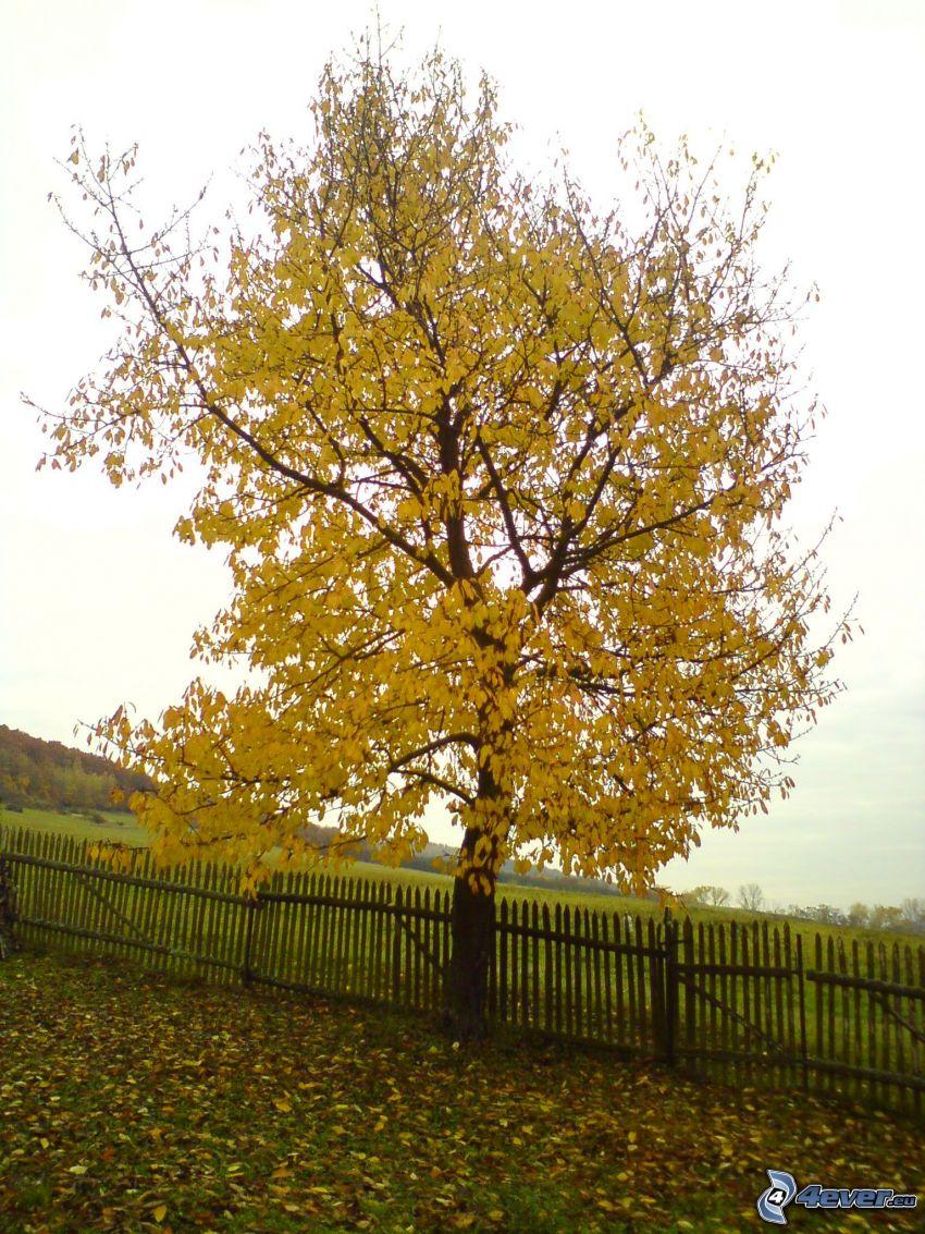 gult träd, höst, trästaket, löv