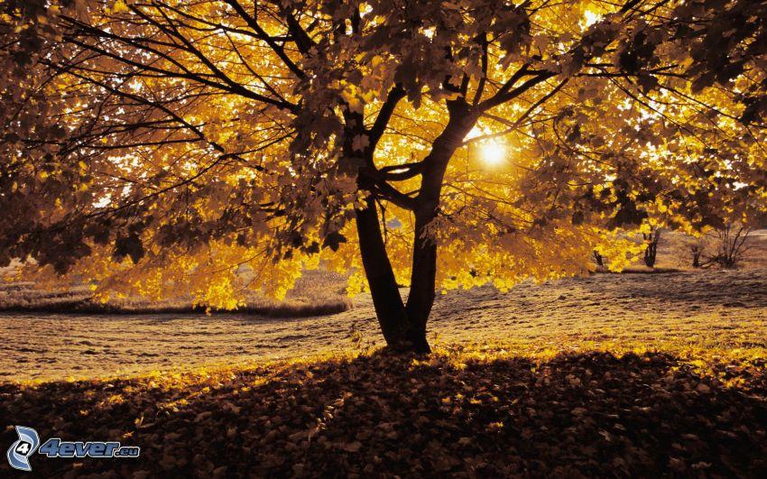 gult träd, sol, nedfallna löv