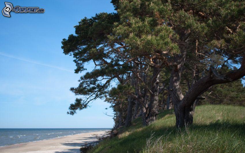 barrträd, sandstrand, hav