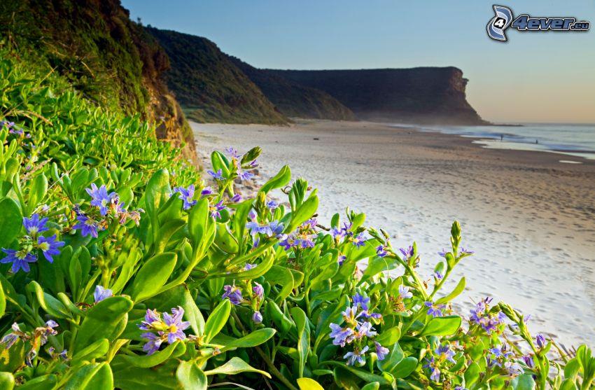 blå blommor, sandstrand, klippa, hav