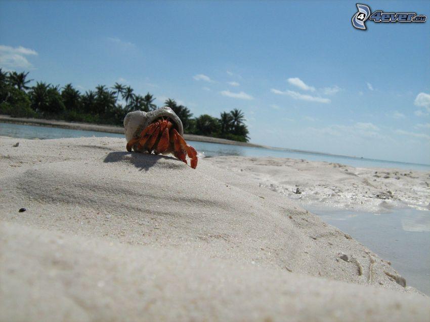 krabba på strand, kust