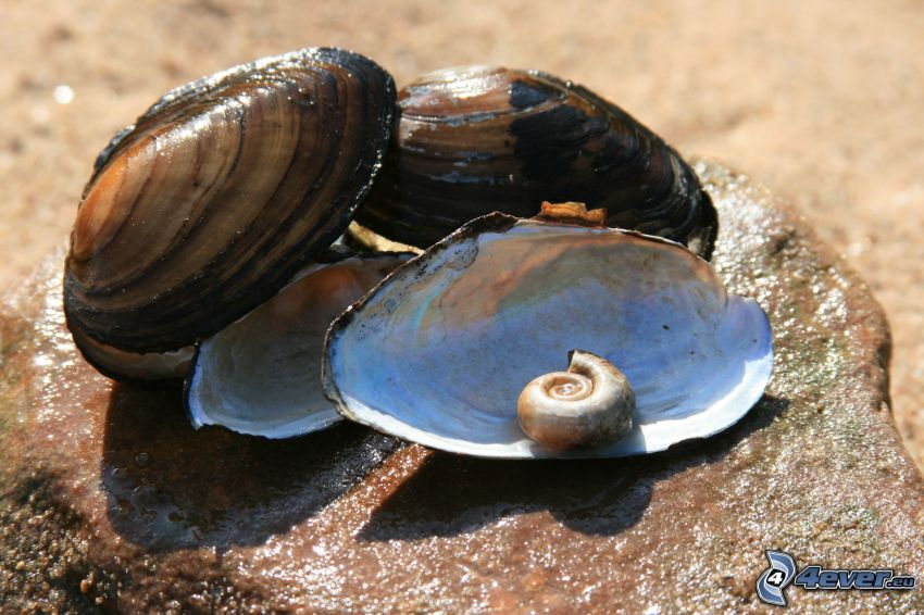 musslor, snäcka