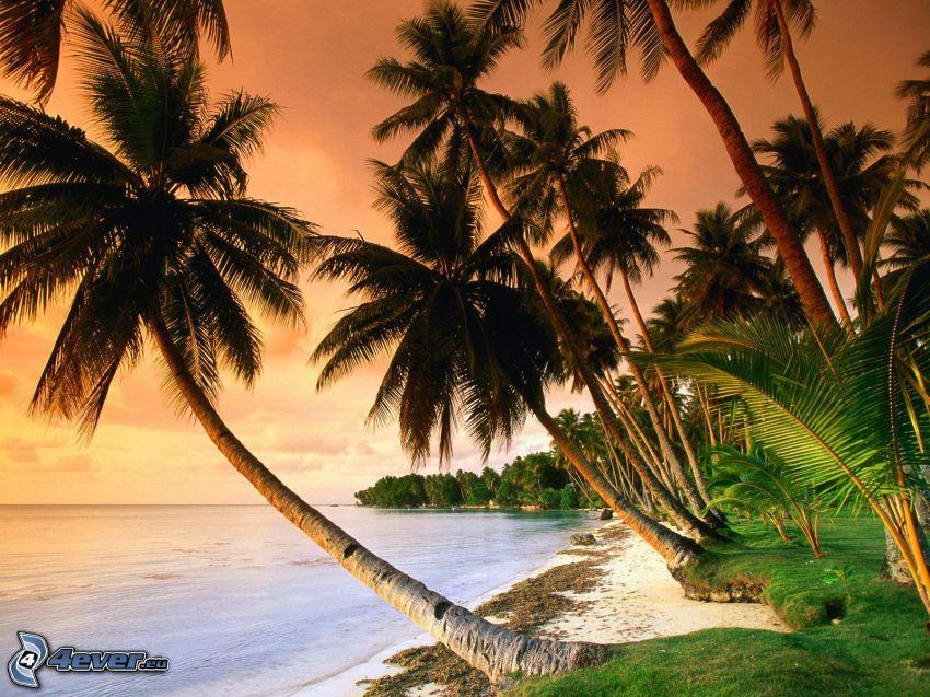 palmer på strand, hav
