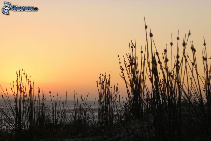 silhuett av växt, hav, efter solnedgången