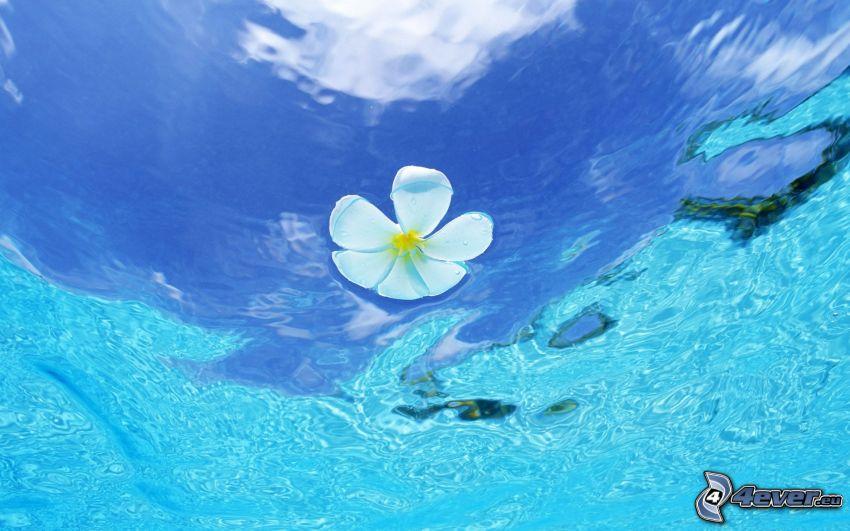 vit blomma, vattenyta, azurblå hav