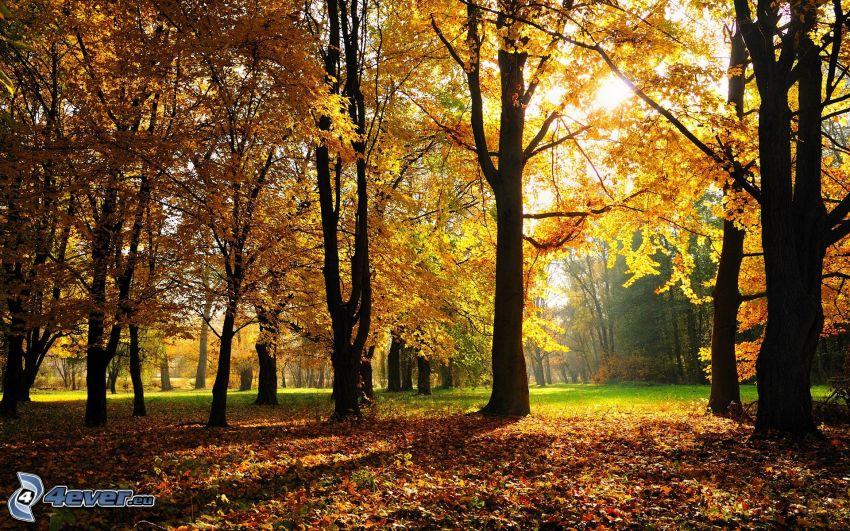 höstpark, gula träd
