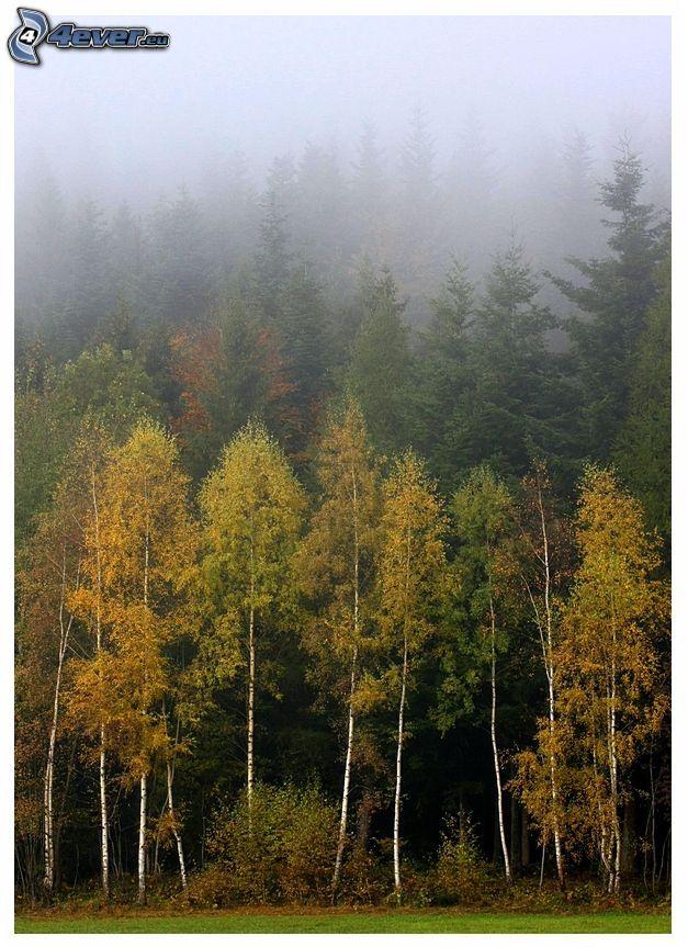 höstskog, björkar, dimma