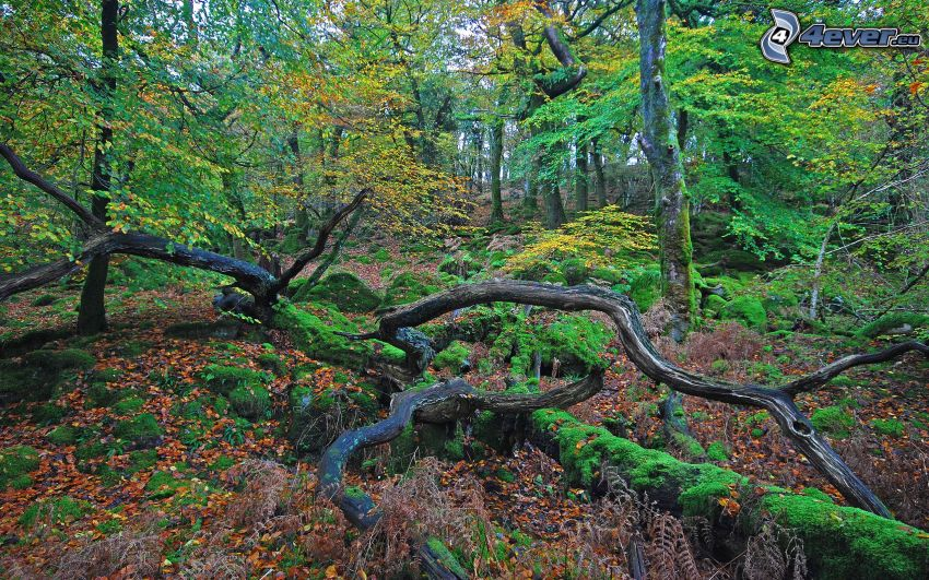 höstskog, trädstammar