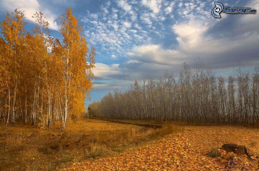 höstträd, gula träd, björkar, nedfallna löv