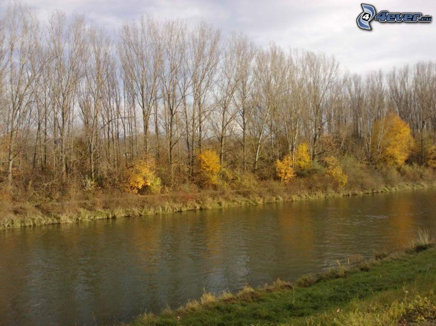 höstträd vid flod, gula träd, höst