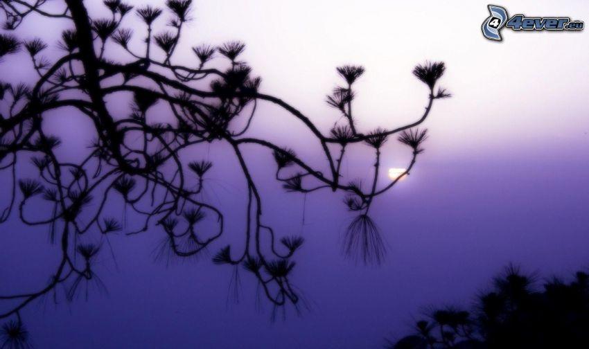 kvist, silhuett, lila himmel