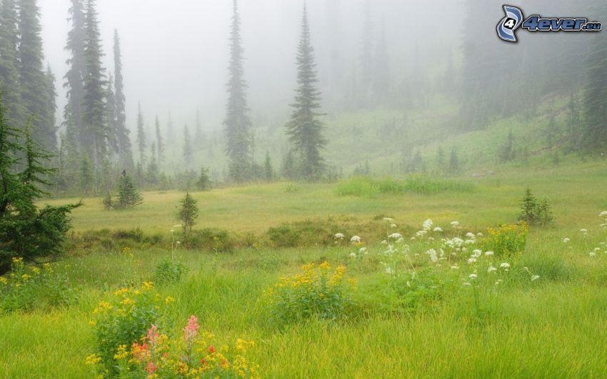 äng, blommor, barrträd, dimma