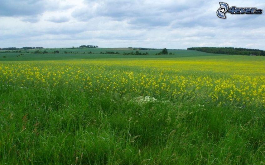 äng, gula blommor