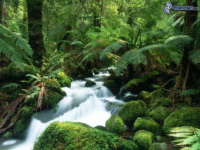 bäck i skogen, urskog, tropikerna, Australien