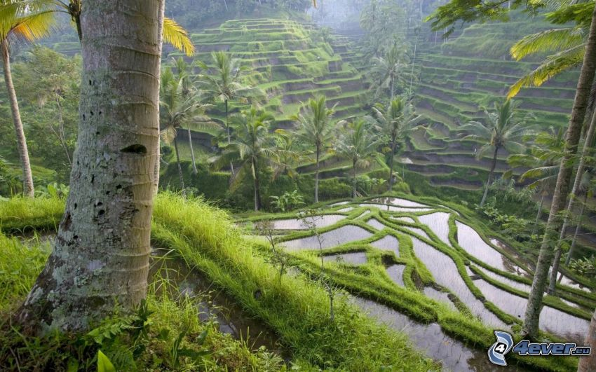 Bali, terasssjöar, skog, vatten, kaskader