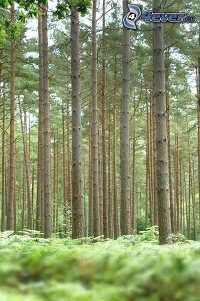 barrskog, träd, trädstammar, ormbunke