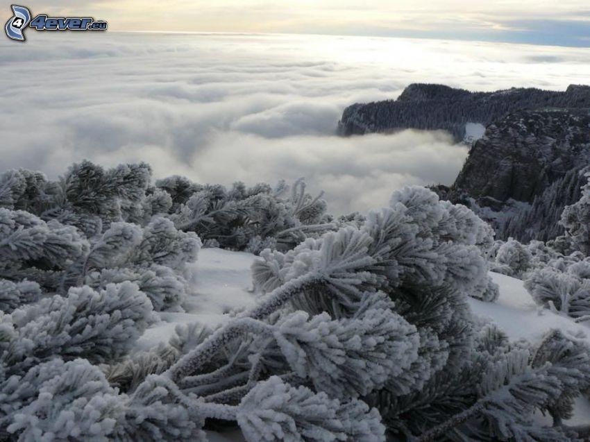 bergtall, fryst skog, inversion