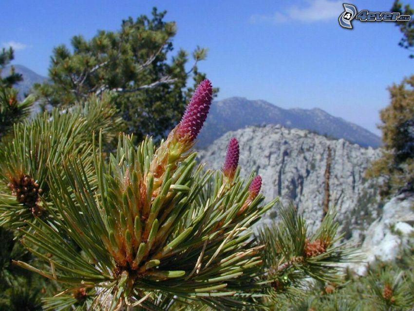 bergtall, växt, blomma, berg