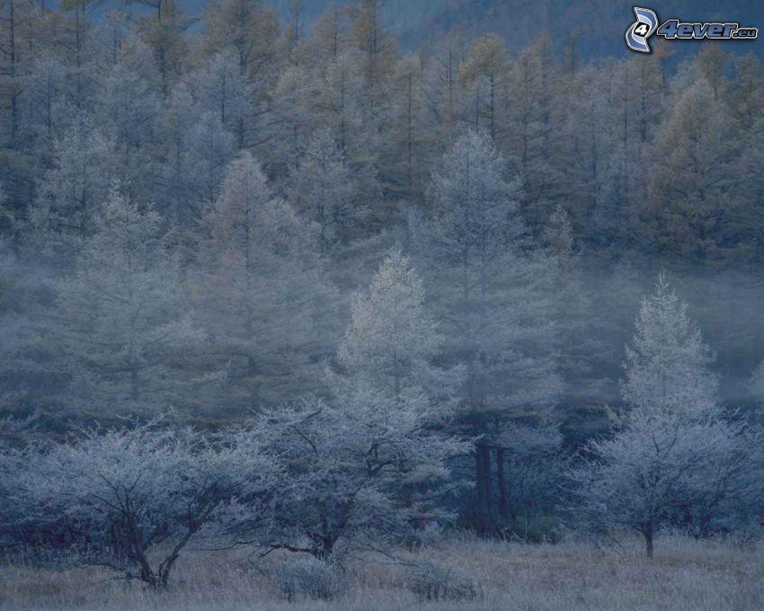dimma i skog, frysta träd, vinter
