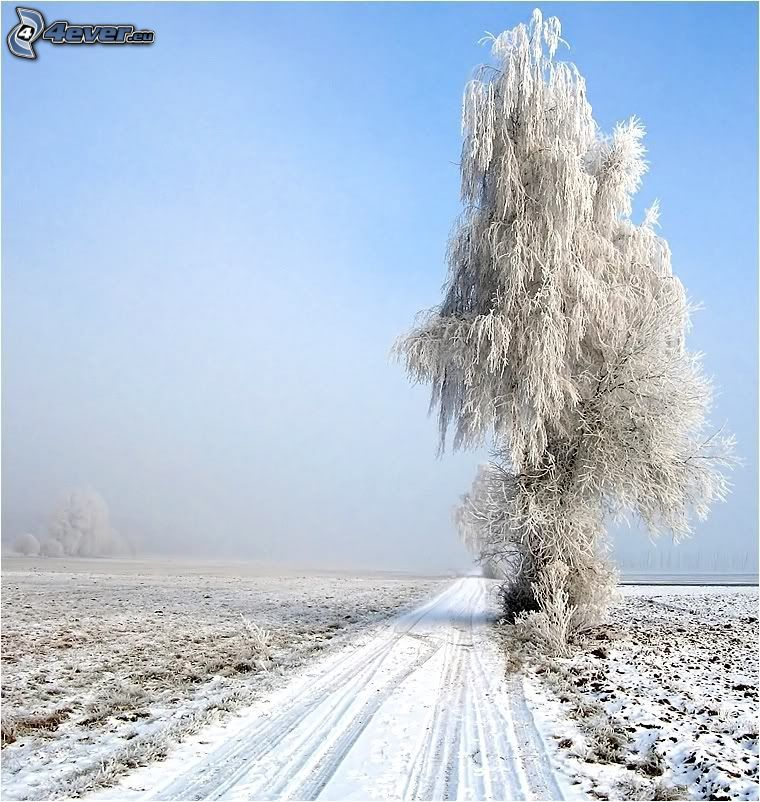 ensamt träd, poppel, åker, snöig väg