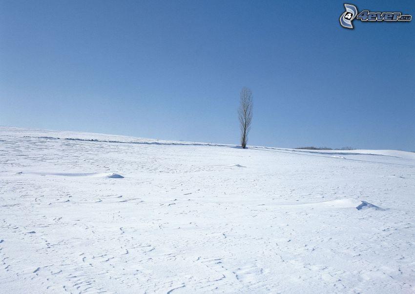 ensamt träd, poppel, snöig äng, vinter