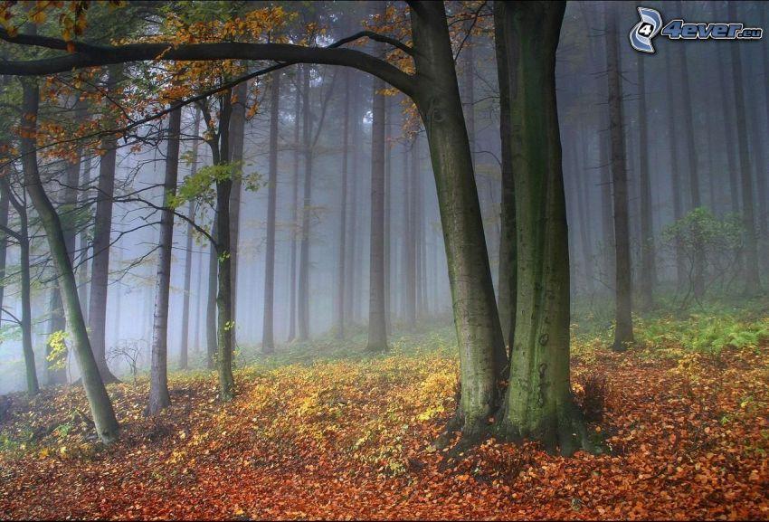 färggrann höstskog, gula löv, dimma