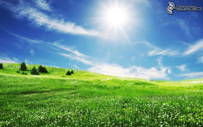 grön äng, barrträd, sol, blå himmel