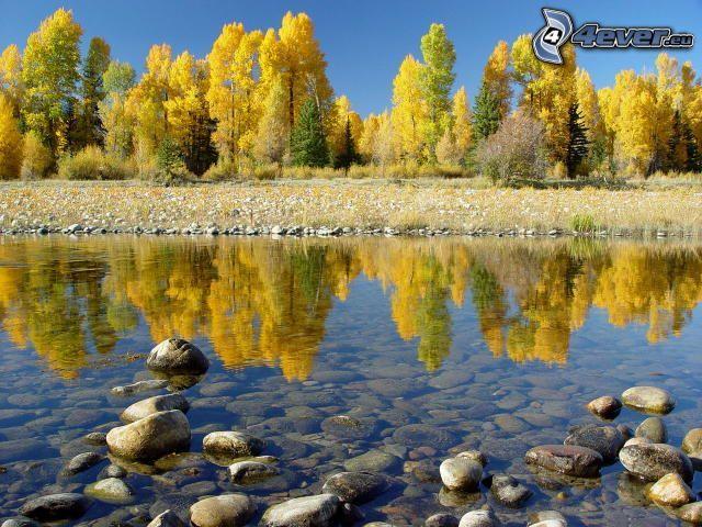 gula träd, flod, flodstenar, spegling
