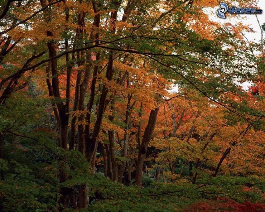 gula träd, skog, höst