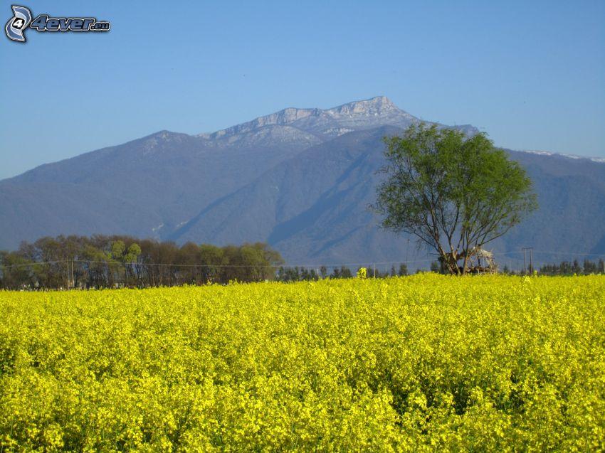 gult fält, raps, träd, klippiga berg