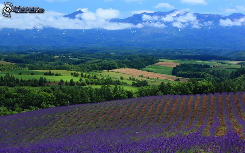 lavendelfält, berg, grönt landskap