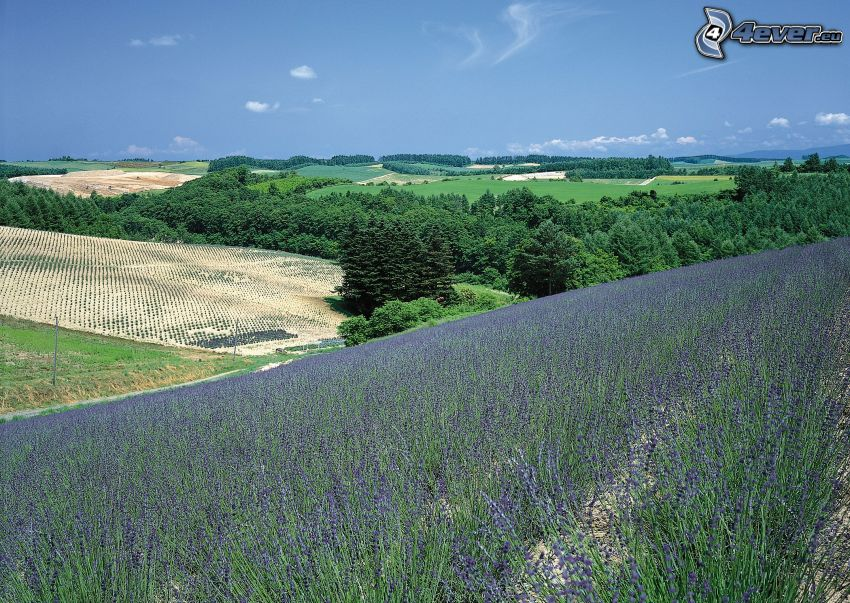 lavendelfält, landskap, skog