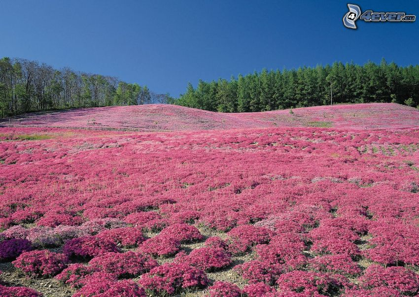 lavendelfält, lila blommor, äng, skog