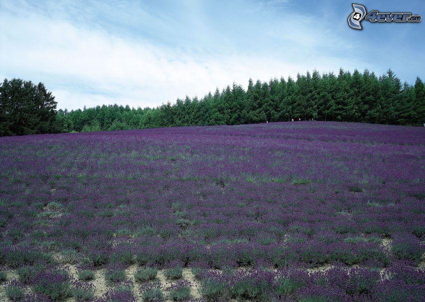 lavendelfält, skog