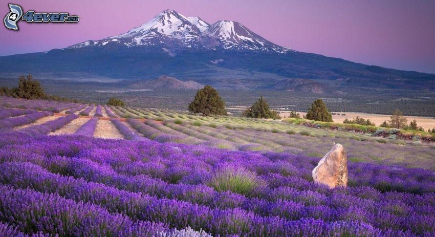 lavendelfält, snöklädda berg
