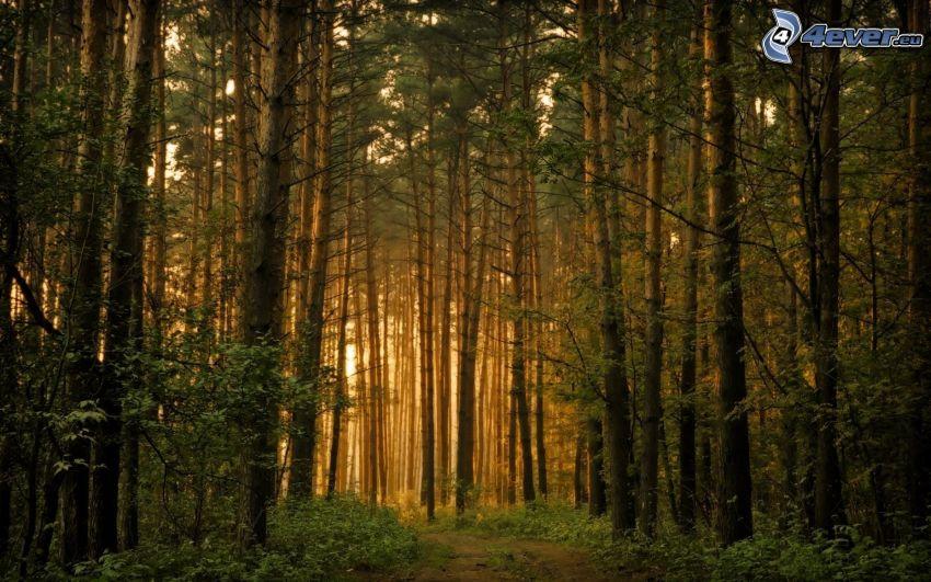 skog, soluppgång