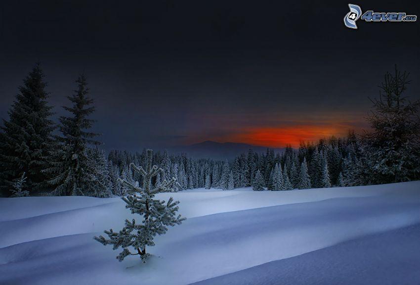 skog efter solnedgången, snö, barrträd, snöig skog