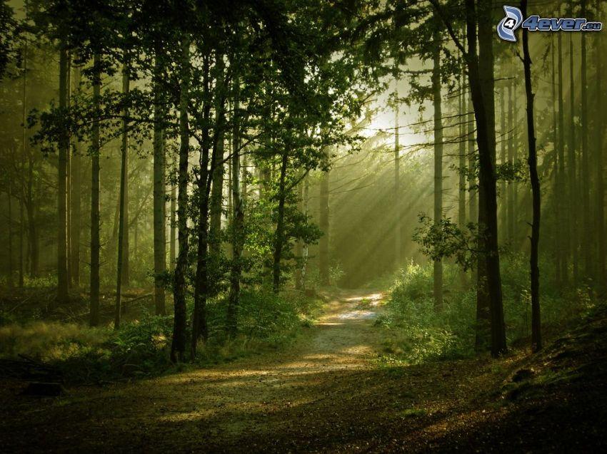 skogsväg, träd, solstrålar, skog, dimma