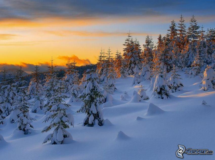snöig skog, solnedgång