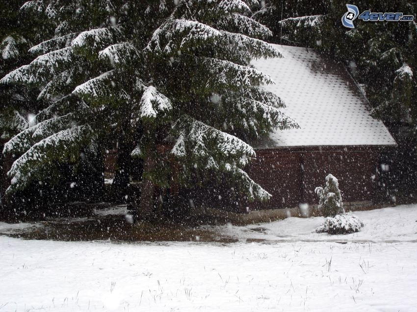 snöigt barrträd, snö, vinter, stuga