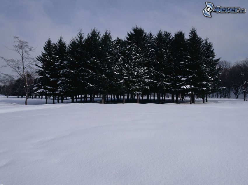 snöklädda träd, lund